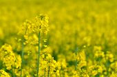 blooming rapeseed field in spring