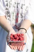 image of picking tray  - in female hands lay a bunch of ripe delicious fresh raspberries - JPG