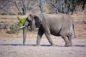 stock photo of desert animal  - Desert elephants are not a distinct species of elephant but are African bush elephants (Loxodonta africana) that have made their homes in the Namib and Sahara deserts. ** Note: Soft Focus at 100%, best at smaller sizes - JPG