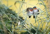 image of snuggle  - A pair of colorful love birds snuggling on a tree branch - JPG