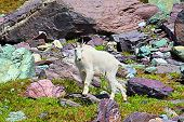 Mountain Goat Alpine Environment
