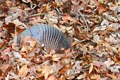 picture of armadillo  - Nine - JPG