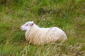 picture of iceland farm  - White Icelandic sheep resting in a meadow - JPG