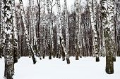 picture of birchwood  - snowy birch forest in cold winter day - JPG