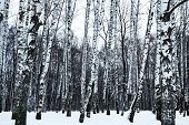picture of birchwood  - view of snowy birch forest in cold winter day - JPG