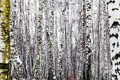 picture of birchwood  - natural background from bare birch trees in winter - JPG