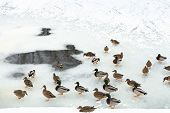 Flock Of Ducks Near Glade In Frozen River