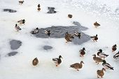 Flock Of Ducks Near Ice Hole In Frozen Lake