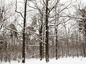 image of edging  - snowy oaks and pine trees on the edge of winter forest - JPG
