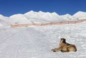 Dog Resting On Snow At Nice Sun Day