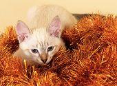 Thai kitten in Christmas tinsel.