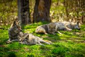 foto of north american gray wolf  - A pack of North American Coyotes lazily rest and sleep in a Canadian forest - JPG