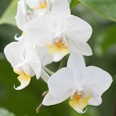 foto of orquidea  - White natural orchids on green leaves background