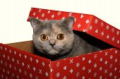 pic of portrait british shorthair cat  - British cat in a red gift box - JPG