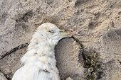 image of northern hemisphere  - Dead northern fulmar Fulmarus glacialis on a beach - JPG