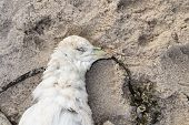 picture of northern hemisphere  - Dead northern fulmar Fulmarus glacialis on a beach - JPG