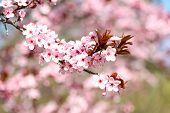 foto of cherries  - Cherry blossoms over blurred nature background - JPG