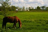 stock photo of horses eating  - Horse eating grass  on the meadow during spring day - JPG