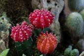 stock photo of cactus  - actus in pot - JPG