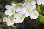 stock photo of sorrel  - Wood Sorrel  - JPG