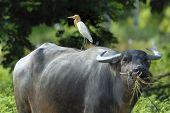 foto of female buffalo  - Beautiful Bird  - JPG