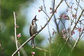 stock photo of bulbul  - Beautiful bird  - JPG