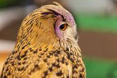stock photo of owls  - European Eagle owl or Eurasian eagle owl watching closeup - JPG