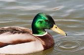 stock photo of male mallard  - Mallard male duck swimmwng in a stream - JPG