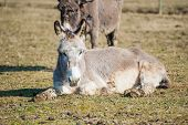 pic of jackass  - Portrait of a donkey resting in the meadow - JPG