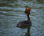 image of grebe  - Image of Great Crested Grebe on Lake Prespa Greece - JPG