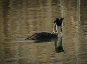 stock photo of grebe  - Image of Great Crested Grebe on Lake Prespa Greece - JPG