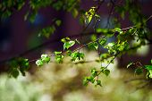 image of spring-weather  - Beautiful new birch leaves at april spring sunny weather - JPG