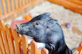 pic of baby pig  - Blurred background - JPG