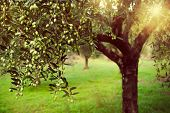 pic of olive branch  - Vintage toned image of olive branches full with olives - JPG