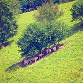 stock photo of bavaria  - Sheep Grazing in the Alpine Meadows of Bavaria Retro Effect - JPG