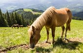 pic of bay horse  - Grazing bay horse on a mountain pasture against mountains - JPG