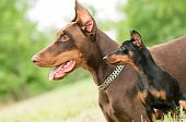 Large And Miniature Dobermans