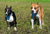 pic of american staffordshire terrier  - The American Staffordshire Terriers are on the grass - JPG