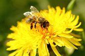 stock photo of honey bee hive  - honey bee and yellow dandelion macro shot - JPG