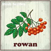 stock photo of rowan berry  - Hand drawing illustration of rowan - JPG