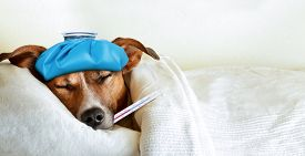 stock photo of temperature  - jack russell dog sleeping in bed with high fever temperature ice bag on head thermometer in mouth covered by a blanket - JPG