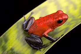 foto of poison arrow frog  - red poison arrow frog - JPG