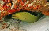 Green Moray (Gymnothorax funebris) in Cozumel Mexico