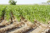 Irrigated Corn 2