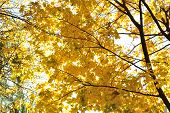 The autumn topic, the gold leaves of maple.