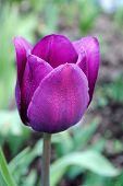 The  tulip.