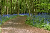 stock photo of harebell  - Path through the forest lined with bluebell flowers - JPG