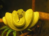 Yellow Tree Snake
