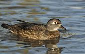 Female Wood Duck - Aix sponsa