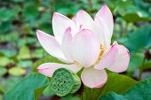 Lotus rare flower. Ancient flower. poster